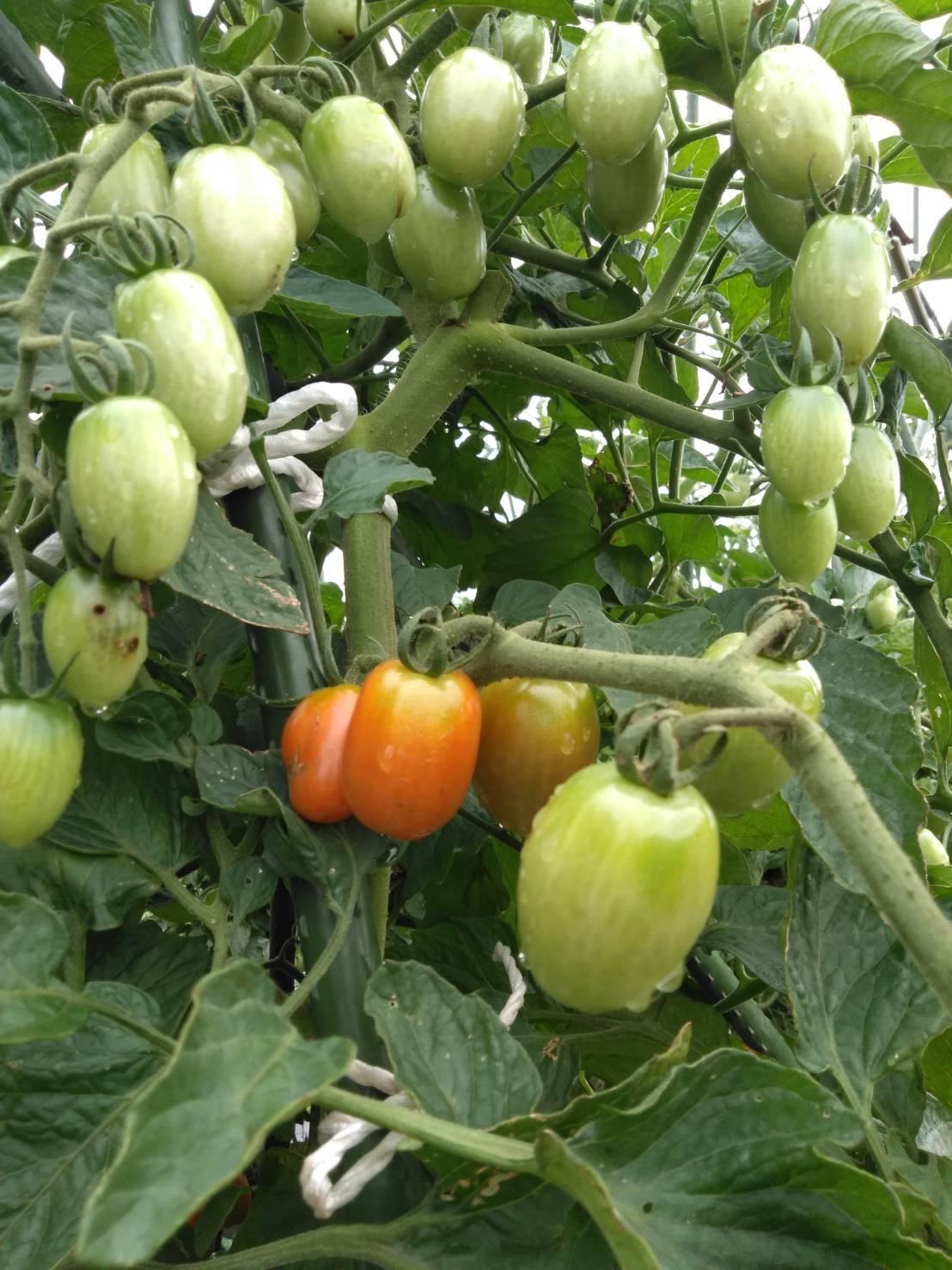 草刈り殆ど トマトや茄子の下葉切り取り 畝間の雑草取り・・_c0222448_13291329.jpg