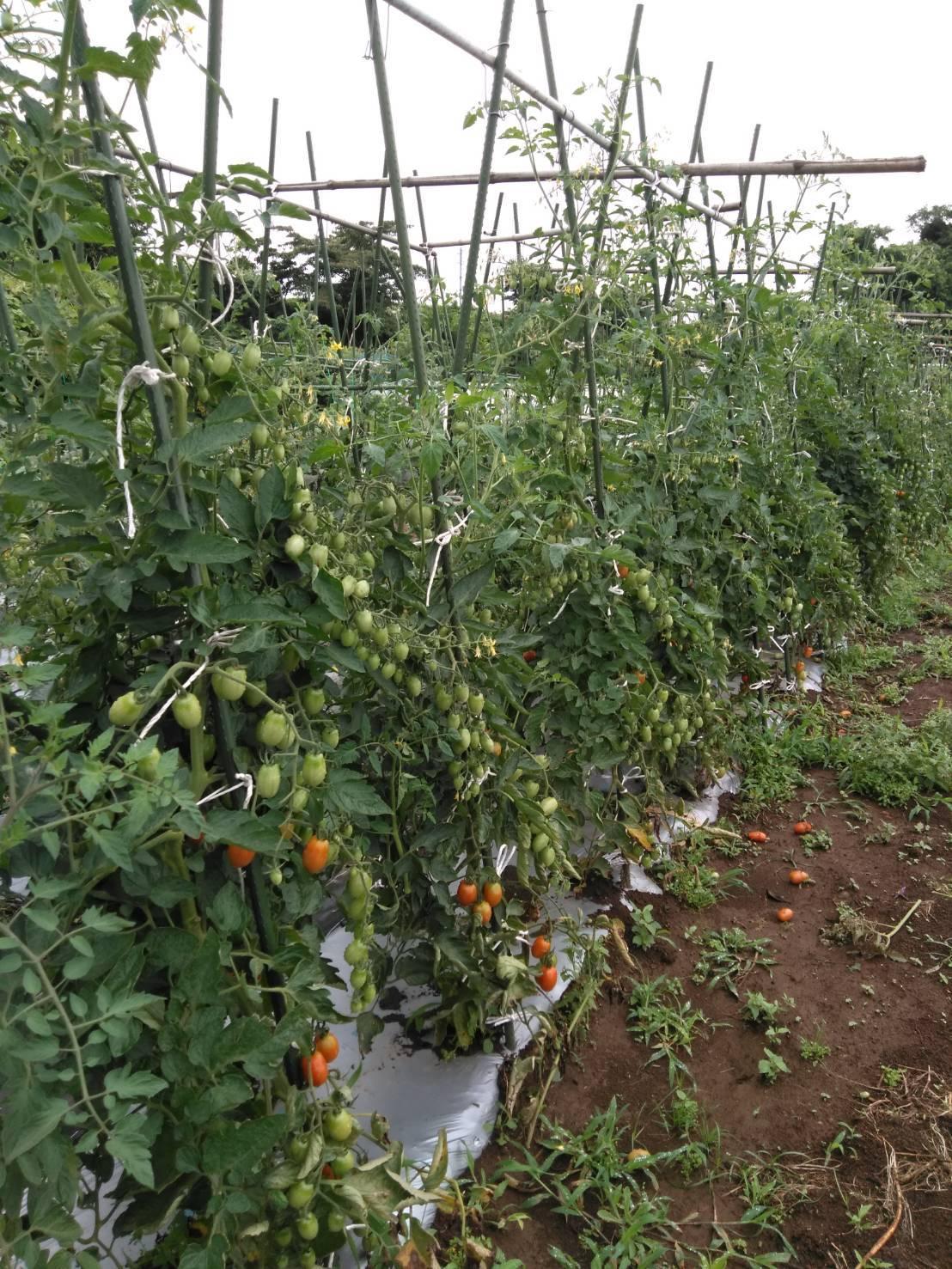 草刈り殆ど トマトや茄子の下葉切り取り 畝間の雑草取り・・_c0222448_13294391.jpg