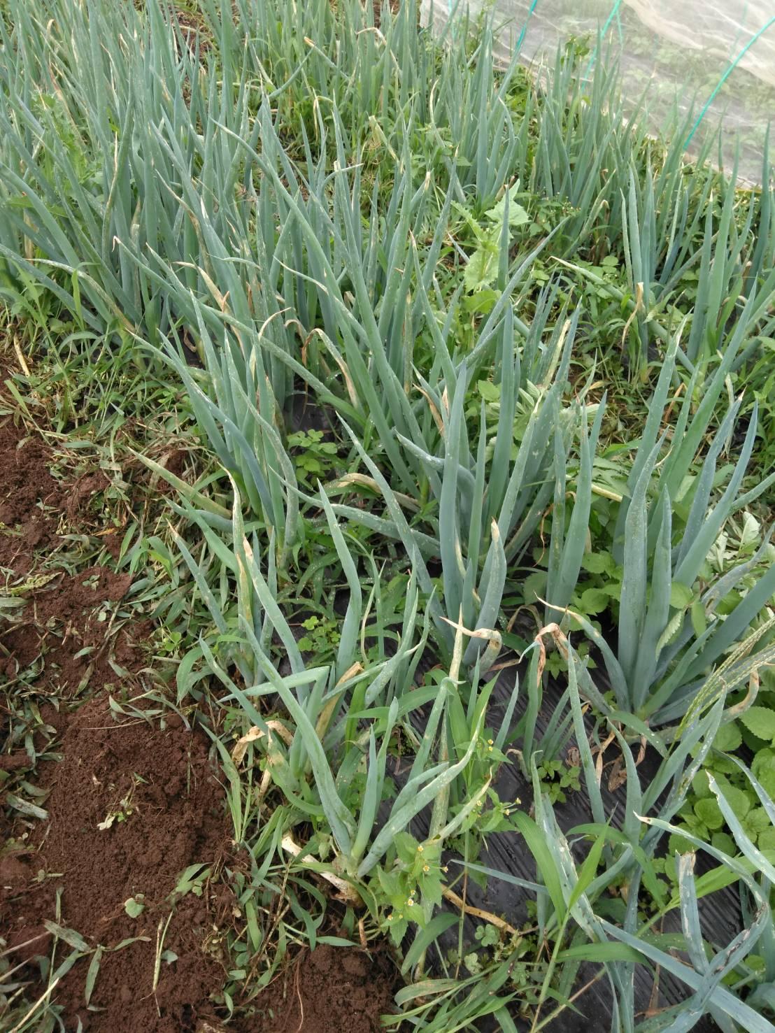 草刈り殆ど トマトや茄子の下葉切り取り 畝間の雑草取り・・_c0222448_13305063.jpg