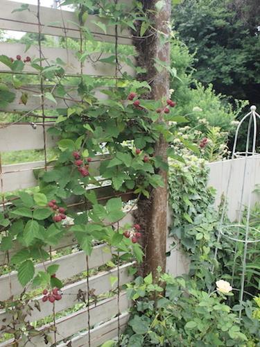 7月の庭_a0335560_23032219.jpg