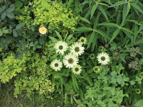 7月の庭_a0335560_23033420.jpg