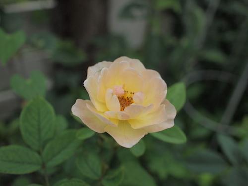 7月の庭_a0335560_23033511.jpg