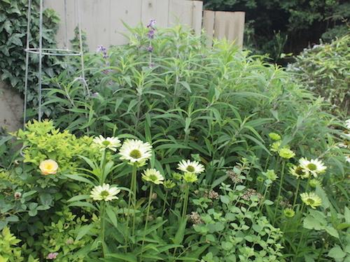 7月の庭_a0335560_23033565.jpg