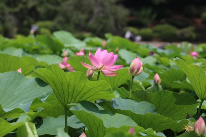 千葉公園の大賀ハス♪ 6_d0152261_15493882.jpg
