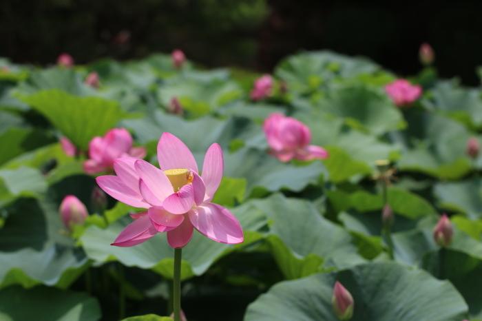 千葉公園の大賀ハス♪ 6_d0152261_16015129.jpg