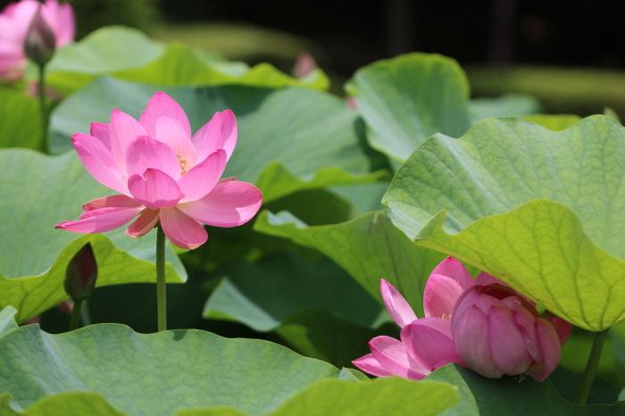 千葉公園の大賀ハス♪ 6_d0152261_16040829.jpg