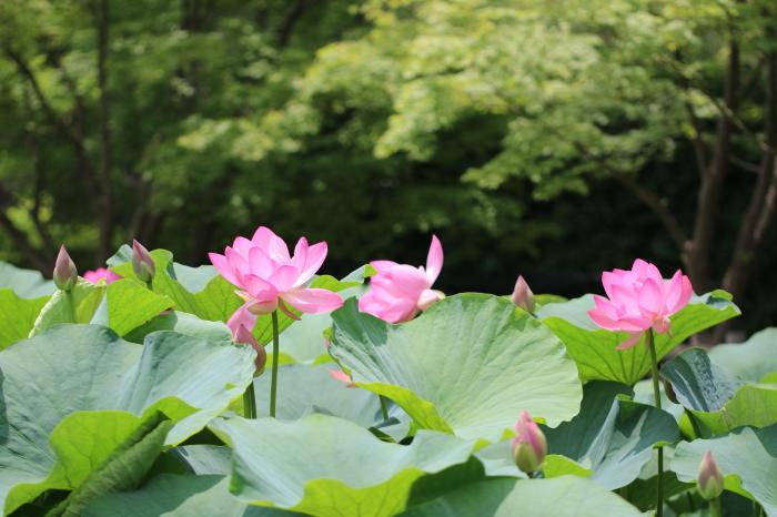 千葉公園の大賀ハス♪ 6_d0152261_16042413.jpg