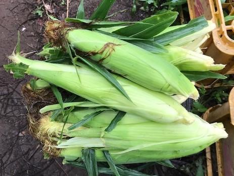 トウモロコシ収穫(7・6)、サトイモに追い肥(7・3)_c0014967_11284073.jpg