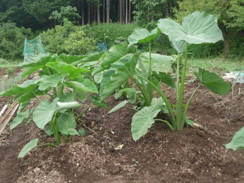 トウモロコシ収穫(7・6)、サトイモに追い肥(7・3)_c0014967_11295660.jpg