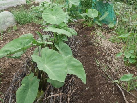 トウモロコシ収穫(7・6)、サトイモに追い肥(7・3)_c0014967_11300914.jpg