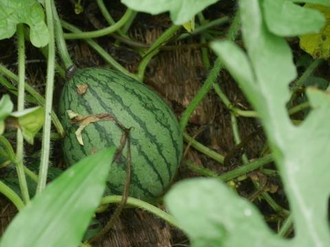 トウモロコシ収穫(7・6)、サトイモに追い肥(7・3)_c0014967_11310624.jpg