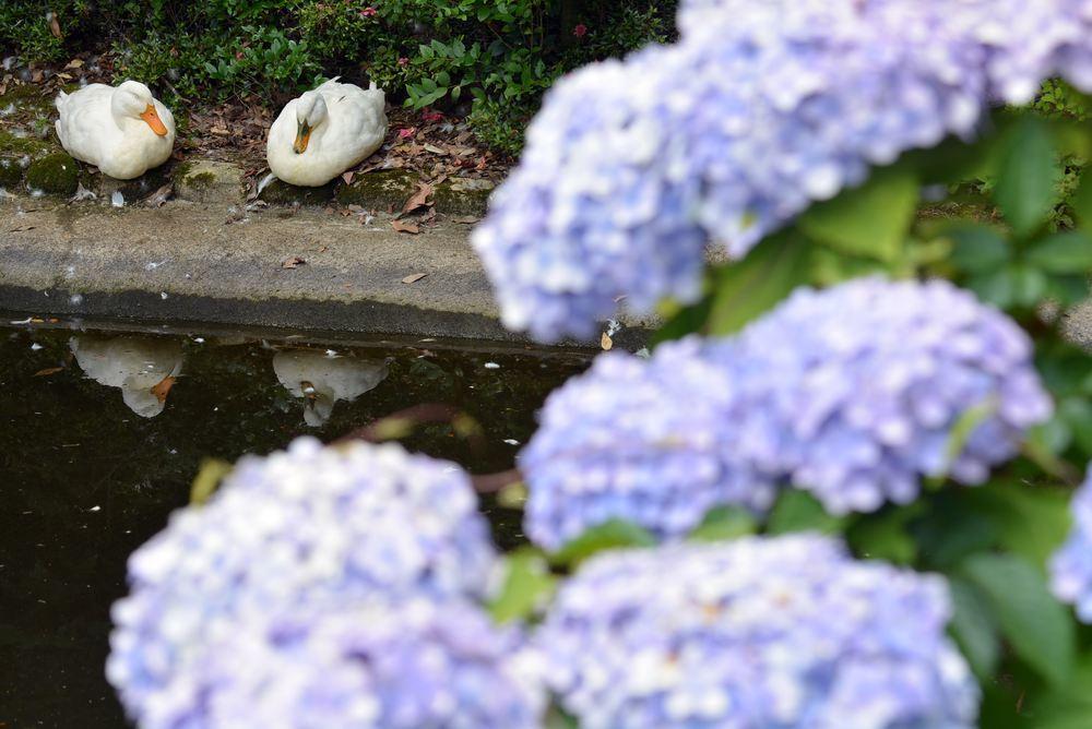 一丁目の紫陽花2_e0373930_21263677.jpg