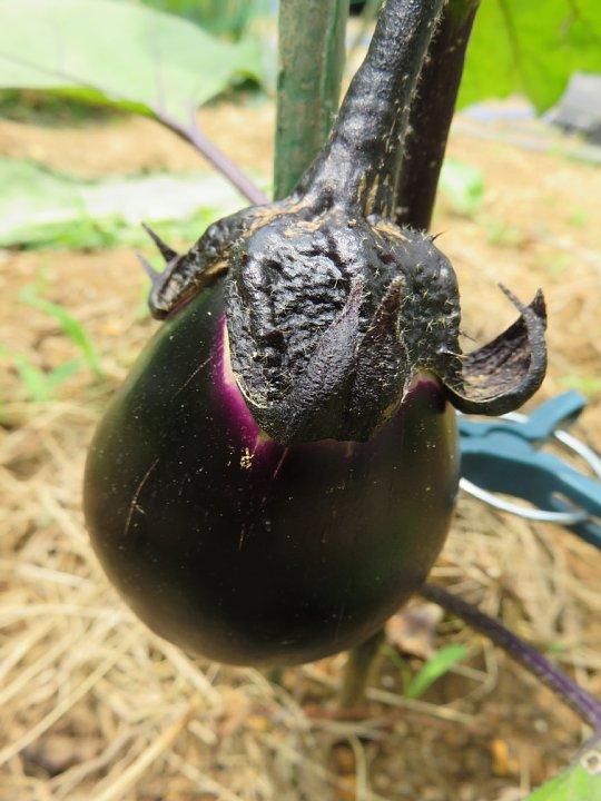 2019年7月26日 夏野菜の収穫 !(^^)!_b0341140_3252310.jpg