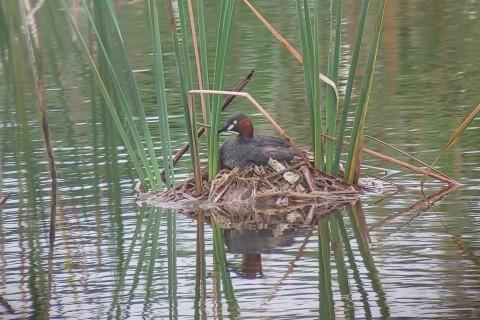 ★上の池のカイツブリの繁殖状況_e0046474_18591894.jpg