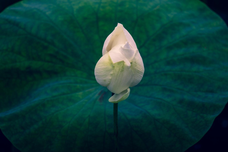 Lotus_b0126495_23140109.jpg