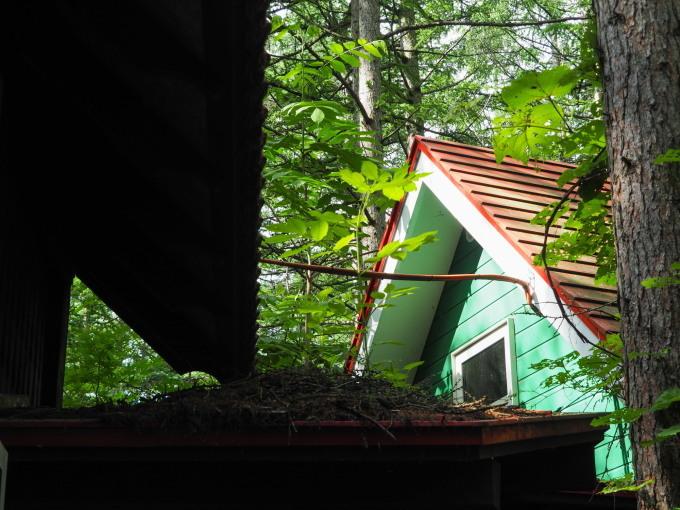 エゾリス君の埋めたクルミが・・なんと屋根の上で発芽!_f0276498_15120882.jpg