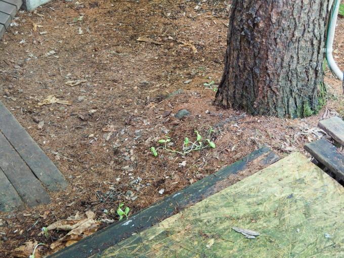 エゾリス君の埋めたクルミが・・なんと屋根の上で発芽!_f0276498_15145325.jpg