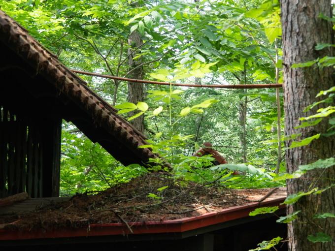 エゾリス君の埋めたクルミが・・なんと屋根の上で発芽!_f0276498_15160423.jpg