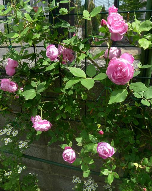 薔薇の香り/ Sweet smell of roses._e0120899_09101123.jpg