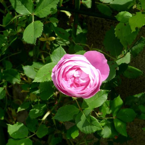 薔薇の香り/ Sweet smell of roses._e0120899_09495742.jpg