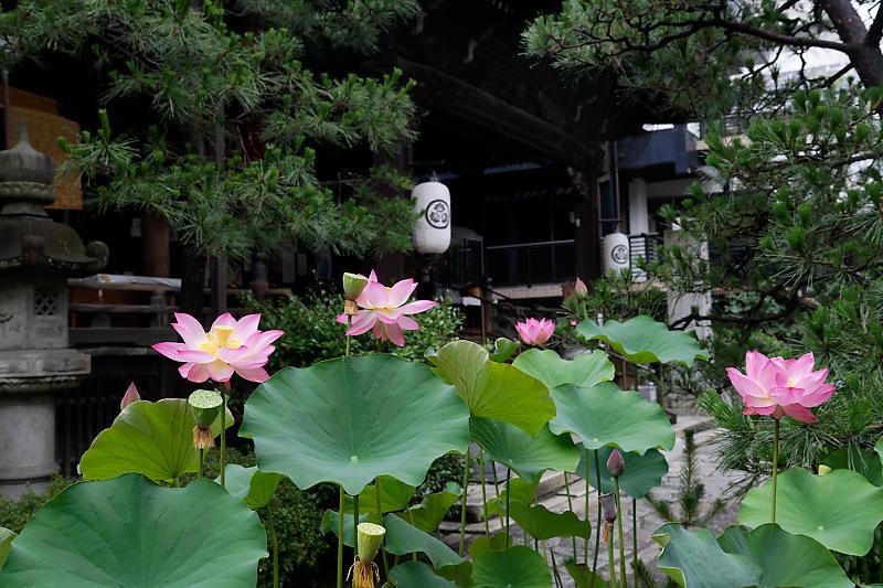 雨上がりの蓮@行願寺_f0032011_19254087.jpg