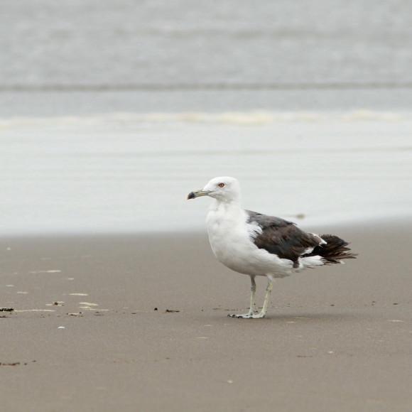 九十九里の海岸にいたウミネコ   MGG_d0346713_21202794.jpg