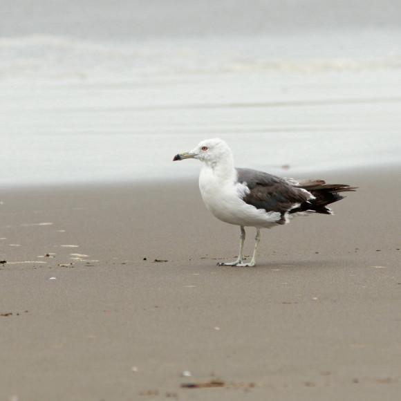 九十九里の海岸にいたウミネコ   MGG_d0346713_21205579.jpg