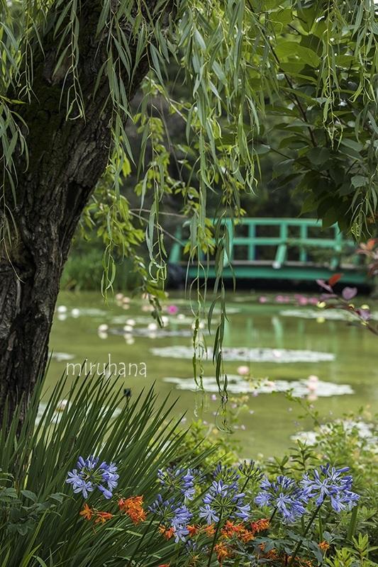 秋咲きスノーフレーク*モネの池_c0037519_00353179.jpg