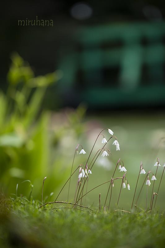 秋咲きスノーフレーク*モネの池_c0037519_00355379.jpg