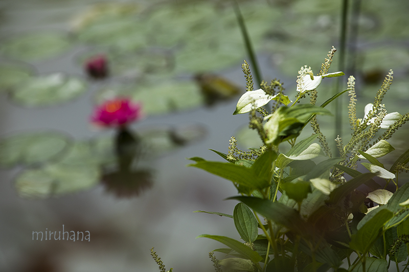 秋咲きスノーフレーク*モネの池_c0037519_00361130.jpg