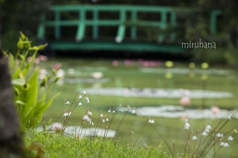 秋咲きスノーフレーク*モネの池_c0037519_00363295.jpg