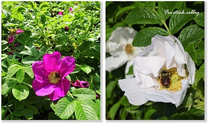 ハマナスの花 ピンクサーモン_d0356844_10302789.jpg