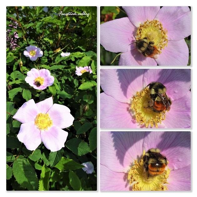 ハマナスの花 ピンクサーモン_d0356844_10310661.jpg