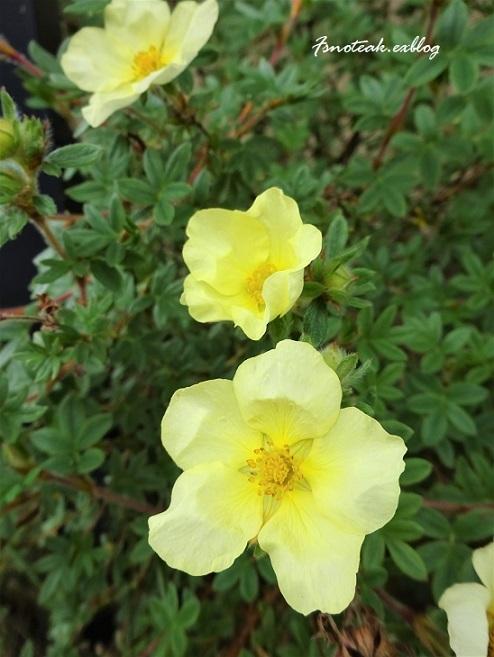 ハマナスの花 ピンクサーモン_d0356844_10321763.jpg