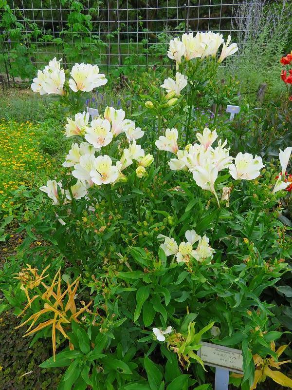 アルストロメリア(ユリズイセン科)の花20190707_e0237645_16403581.jpg