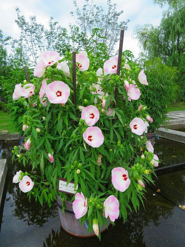 タイタンビカス(アオイ科)の花20190707_e0237645_17053514.jpg