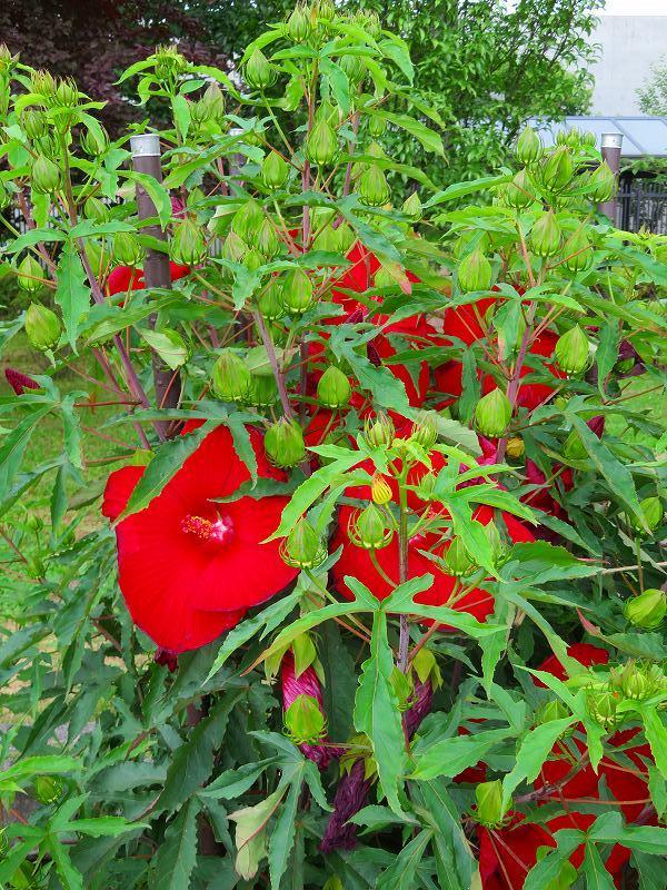 タイタンビカス(アオイ科)の花20190707_e0237645_17053563.jpg