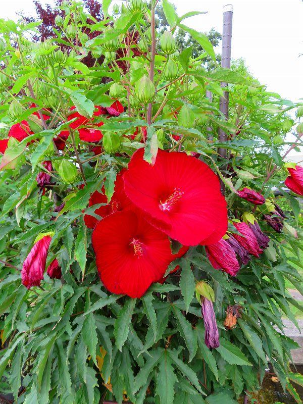 タイタンビカス(アオイ科)の花20190707_e0237645_17053593.jpg