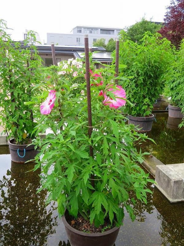 タイタンビカス(アオイ科)の花20190707_e0237645_17064912.jpg