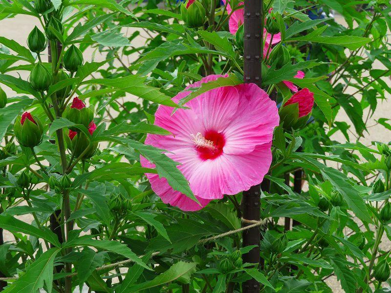 タイタンビカス(アオイ科)の花20190707_e0237645_17064920.jpg