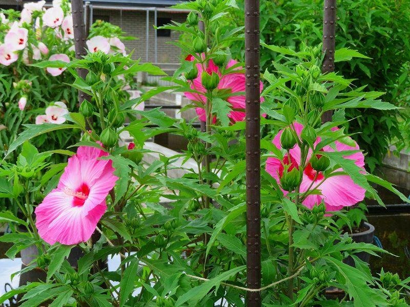 タイタンビカス(アオイ科)の花20190707_e0237645_17064945.jpg