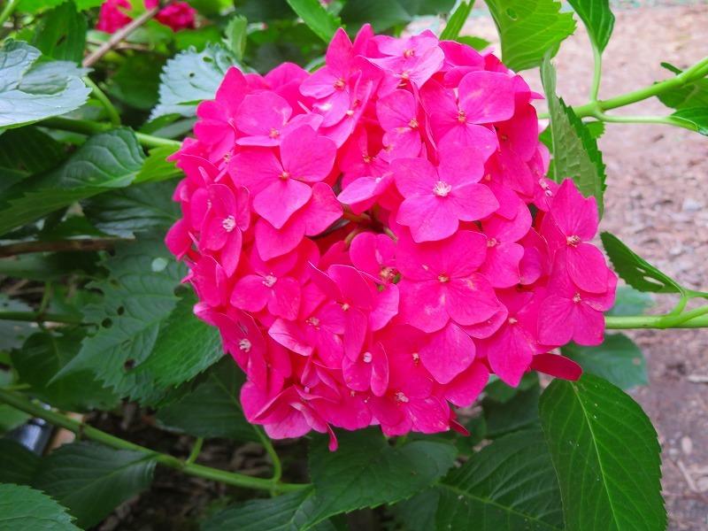 今が満開の「アジサイの花」201907007_e0237645_17182228.jpg