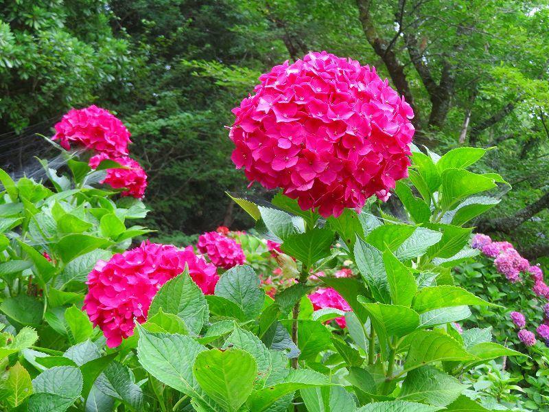 今が満開の「アジサイの花」201907007_e0237645_17182262.jpg