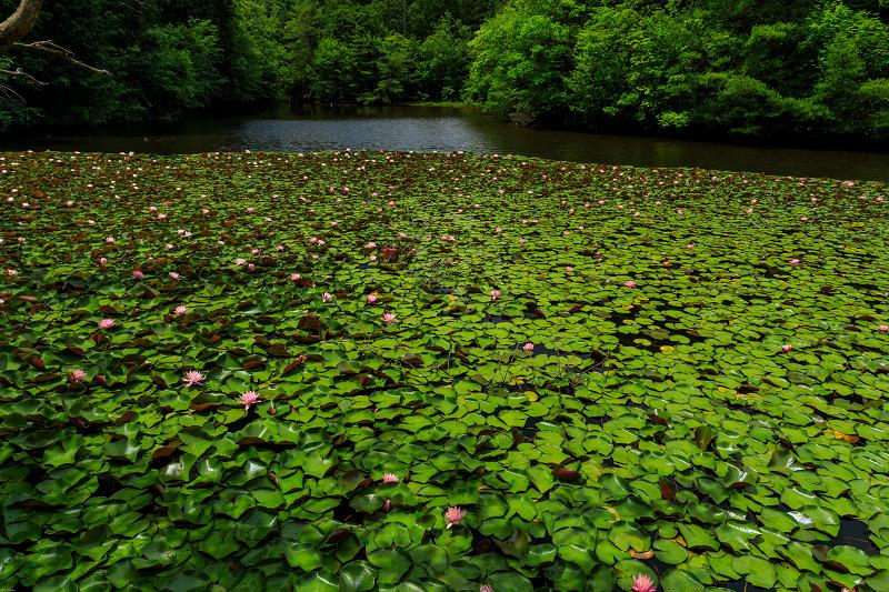 睡蓮の池(忍辱山町・圓成寺)_f0155048_23184896.jpg