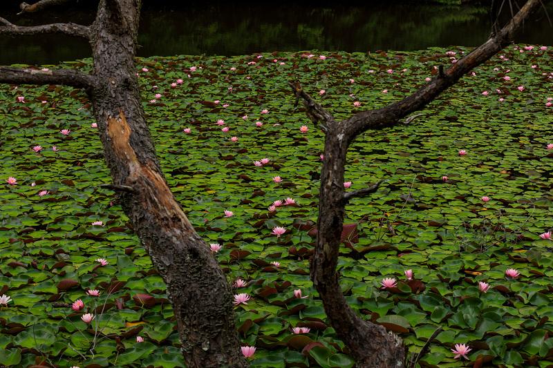 睡蓮の池(忍辱山町・圓成寺)_f0155048_23201594.jpg