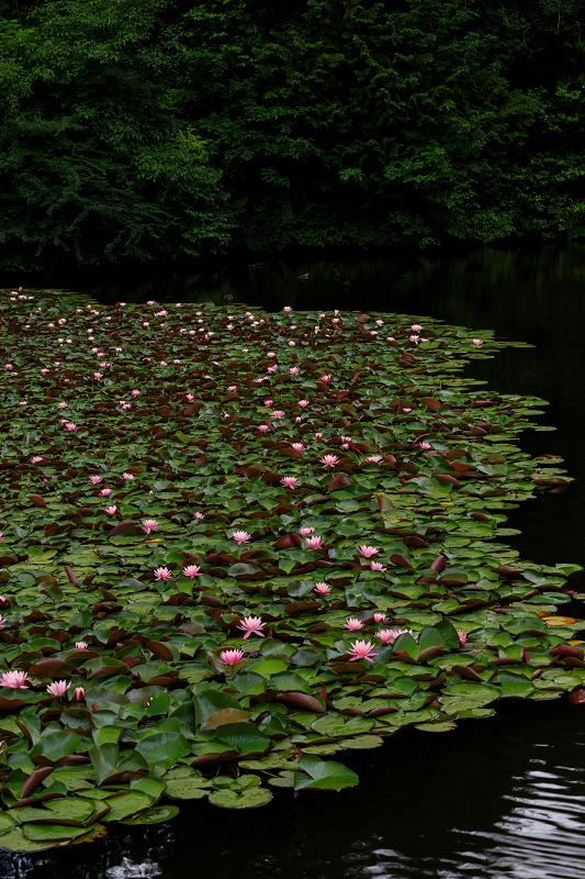 睡蓮の池(忍辱山町・圓成寺)_f0155048_2321110.jpg