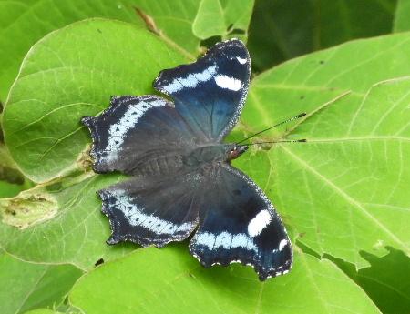 八ヶ岳の蝶と蛾_e0172950_21204733.jpg