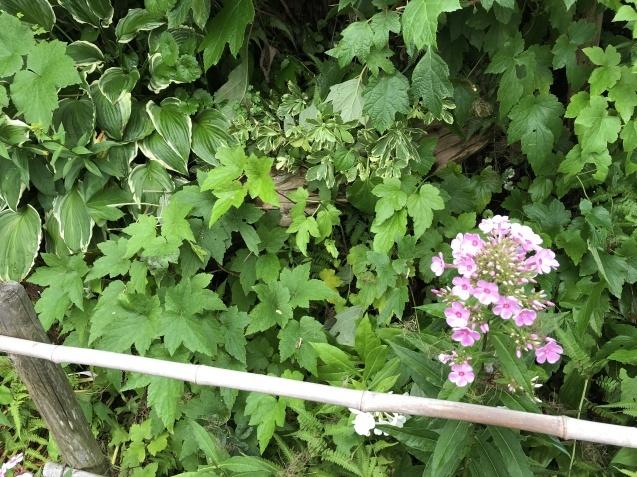 「西洋ニンジンボクとアナベル」素敵な色合い♪_a0243064_14221562.jpg