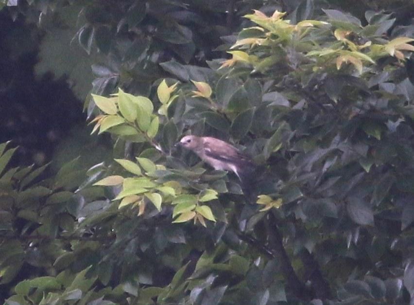 コムクドリがやってきました・・・★先週末の鳥類園(2019.7.6~7)_e0046474_15474993.jpg