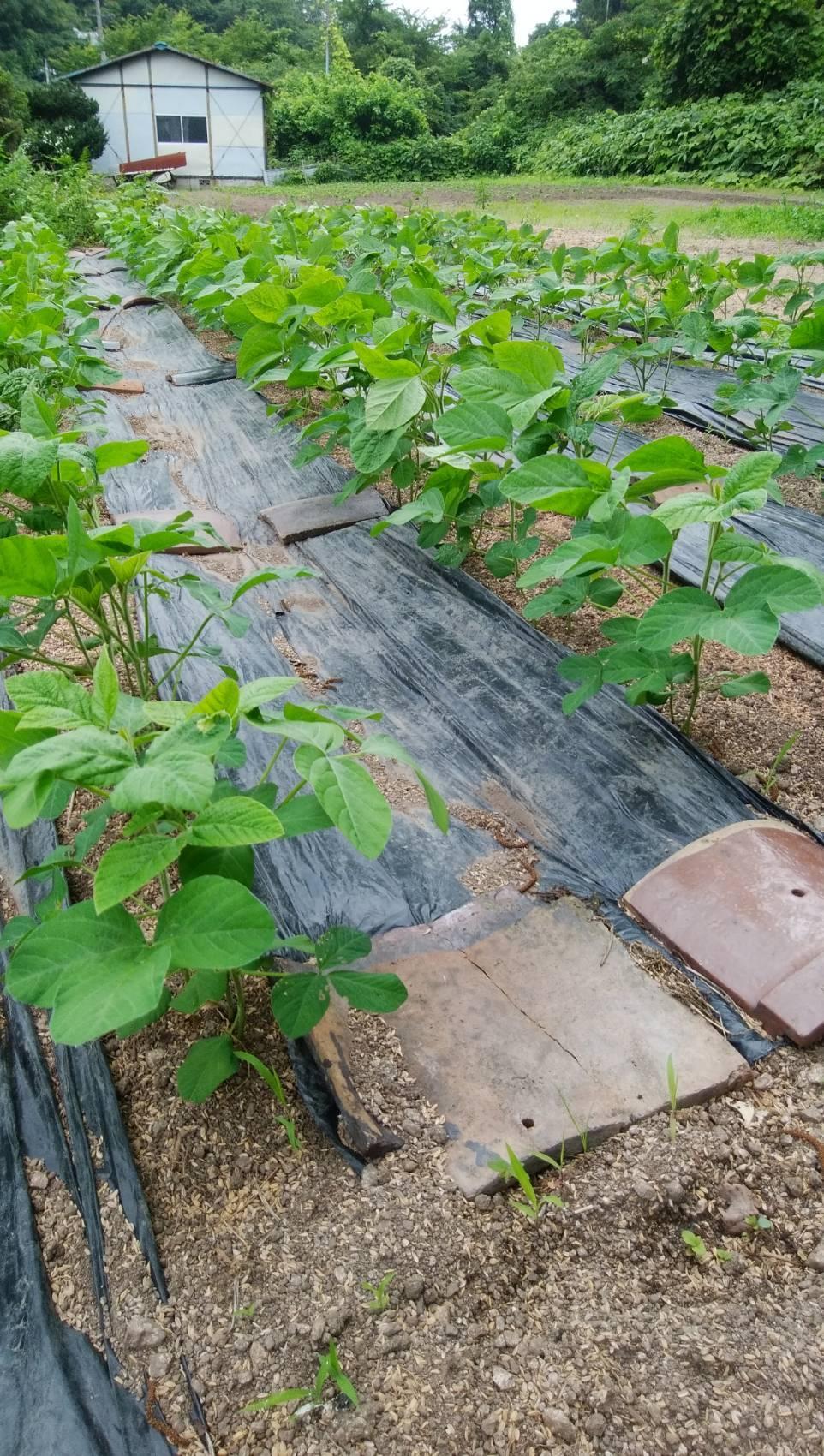 大豆の成長その後_b0270977_20441582.jpg